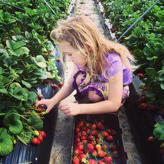 Strawberry Picking - Badgerup Road, Gnangara.