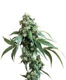 Jack Flash #5® - 5 or ten female seeds per pack. From £45 #Bong #Pipe #Waterpipe #Stoner #Pot #Weed #Glasspipe #Teagardins #SmokeShop http://Teagardins.com