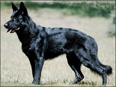 king shepherd dog photo | Posted by Justin Tiemeyer at 11:09 AM