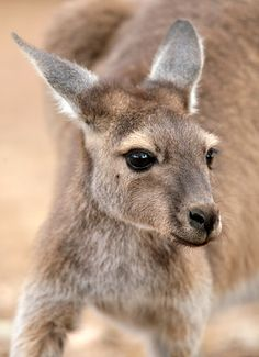 Most of us have seen a baby kangaroo picture, however that's when the little joey is pretty old for a baby. Kangaroos are born very young.