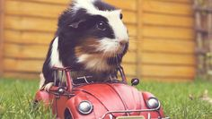 8 things you didn't know about guinea pigs #animals #pets #guineapigs
