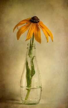 Rudbeckia by Mandy Disher Still Life Photos, Still Life Art, Garden Pictures, Flower Pictures, Flowers In Jars, Outdoor Flowers, Floral Photography, Bottle Art, Flower Decorations