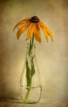 Rudbeckia by Mandy Disher