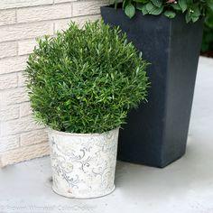 Gem Box® - Inkberry holly - Ilex glabra This cool new dwarf, broadleaf evergreen… Garden Shrubs, Landscaping Plants, Garden Plants, Landscaping Ideas, Acreage Landscaping, Landscaping Company, Garden Soil, Outdoor Landscaping, Shade Garden
