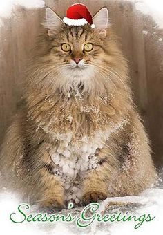 This cat really likes snow. Notice the snowy dreadlocks.  For more Christmas cats, visit https://www.facebook.com/funholidaycats