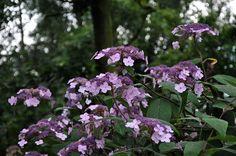 Image result for Hydrangea aspera 'Villosa'