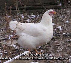 American Livestock Breeds Conservancy: Chantecler Chicken - only breed developed in Canada, extremely cold-hardy. Meat Chickens, Chickens Backyard, Turkey Breeds, Poultry Breeds, North American Animals, Beautiful Chickens, Mini Farm, Chicken Runs, Chicken Breeds
