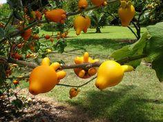 Solanum mammosum (cow's udder, fox face)
