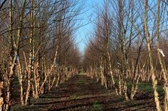 Betula nigra Betula Nigra, Chichester, Vineyard, Country Roads, Trees, Park, Garden, Outdoor, Outdoors