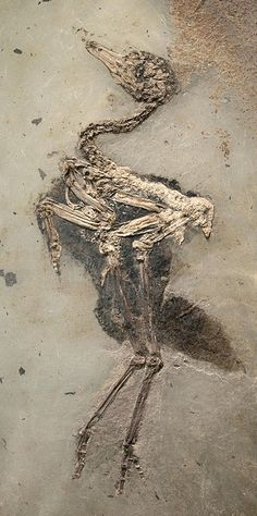 Fossil Eocene bird 48 million years old - Messei Museum, Southern Germany Dinosaur Fossils, Extinct Animals, Prehistoric Creatures, Rocks And Gems, Ancient Artifacts, Rocks And Minerals, Science And Nature, Natural World, Archaeology
