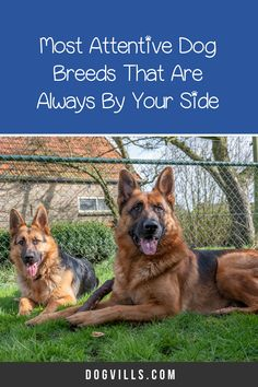 Are you wondering which the most attentive dog breeds are?    You might if you're looking for a dog that's loyal, friendly, and easy to train. Therapy Dog Training, Therapy Dogs, German Shepherd Pictures, German Shepherds, All About Puppies, St Bernard Dogs, Most Popular Dog Breeds, Herding Dogs, Fluffy Dogs
