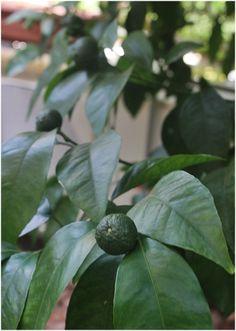 Mandarines ripening in the tree