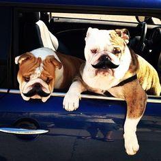 #moustache #bulldog #dog #disguise