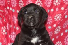 A Labrador Retrieber puppy is the puppy of the day   This labrador retriever puppy is the puppy of the day, she is 8 weeks old   http://www.clearlyinternet.com/