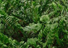 Zamioculcas: pianta e sua cura - Idee Green Plant Leaves, Green, Plants, Switch, Gardening, Environment, Houses, Tecnologia, Lawn And Garden