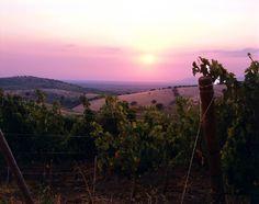 Vigne della Tenuta Belguardo, situata nella Maremma Toscana, sulle colline tra Grosseto e Montiano nelle vicinanze del Parco dell'Uccellina, a circa 10 km dalla costa.  http://www.mazzei.it