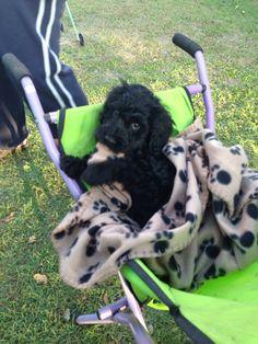 Our loving black spoodle Samo as a puppy