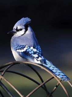 Blue Jay life list #1