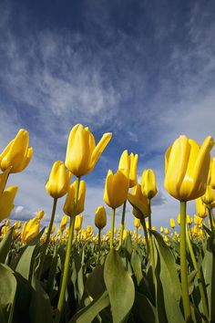 Yellow Tulips Field, Woodburn, Oregon