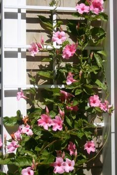 Mandevilla, climbing plant - I have planted one of these every year I've been in my apartment. They are very hardy in the hot temperatures of summer, love the sun, and grow like crazy! This year, I'm going to be prepared with a twine trellis before I buy one.