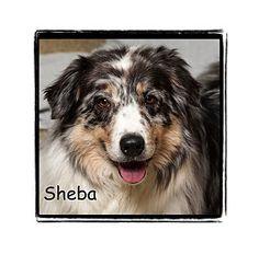 Warren, PA - Australian Shepherd Mix. Meet Sheba, a dog for adoption. http://www.adoptapet.com/pet/15083742-warren-pennsylvania-australian-shepherd-mix