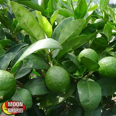 Bearss Lime (Persian Lime)