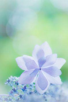 Amaryllis? Blue periwinkle? Pelargonium? Or looks like a Rocky Mountain Columbine.. I've no idea!