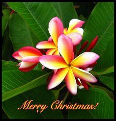 "Plumeria - ""Merry Christmas!"""