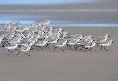 fairy-wren: Sanderlings (photo by jerry ting) Sea Birds, Love Birds, Beautiful Birds, Shorebirds, Am Meer, Beach Scenes, Bird Watching, Bird Feathers, Seaside