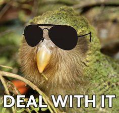 deal with it - kakapo Cockatiel, Budgies, Conure, Parakeet, Love Birds, Bird Art, Parakeets, Bird Artwork