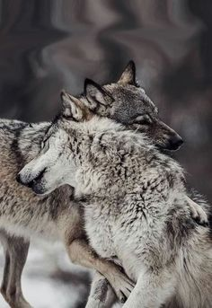 Loup 🐺🐺🐺, See the Best animal pictures from AnyCanal , These are the b. Wolf Photos, Wolf Pictures, Animal Pictures, Pictures Images, Animals And Pets, Baby Animals, Funny Animals, Wild Animals, Cute Animals Images