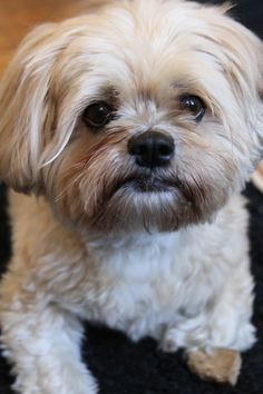 Lhasa Apso, Best Breed dog in the world. ** You can get additional details about pet dogs at the image link.