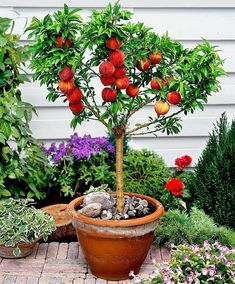Mini Red Haven Peach Tree – Grows fruit sooner than a large tree in a smaller space! Mini Red Haven Peach Tree – Grows fruit sooner than a large tree in a smaller space! Miniature Fruit Trees, Dwarf Fruit Trees, Fruit Plants, Fruit Garden, Edible Garden, Indoor Fruit Trees, Planting Fruit Trees, Apple Garden, Fruit Bushes