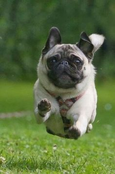 Pug puppies among the Top 5 Cutest Puppy Breeds :)