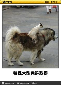 画像 Cat Lovers, Your Dog, Husky, Cute Animals, Dogs, Medicine, Photograph, Kitty Cats, Pretty Animals