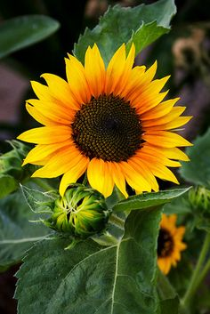 Sunflower, by Paula Gold, 25 August, 2011, tumblr  #orange #yellow #green