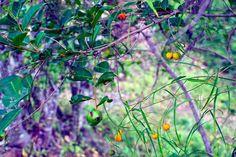 #WombatBerry (Eustrephus latifolius) season is upon us here at…