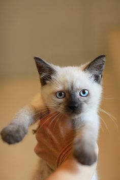 Siamese looking kitten available for adoption at the Canal Road Animal Hospital.