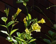 "Treating Yellow Leaves On Mandevilla: What To Do For A Mandevilla Plant Turning Yellow - As a favorite outdoor blooming plant, the mandevilla often gets special attention from the enthusiastic gardener. Some are disappointed when finding yellow leaves on a mandevilla. Following are some answers for the gardening question, ""Why are my mandevilla leaves turning yellow?"""