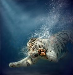 I took this picture in 2007. This is Odin, the diving tiger at Six Flags in California. The picture took part in a National Geographic exhibition in Sofia, Bulgaria.