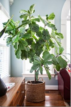 Living Room - fiddle fig tree in a basket with handles