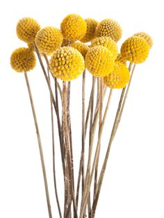 11 Fall Flowers You'll Love Just as Much as Mums Also known as Billy Balls or Billy Buttons, this whimsical option is the perfect way to add a much-needed pop of color to your home. Button Flowers, Fall Flowers, Yellow Flowers, Dried Flowers, Exotic Flowers, Summer Flowers, Fall Mums, Billy Balls, Australian Native Flowers