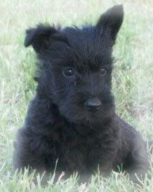 Scottish Terrier Photos