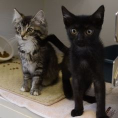 Petfinder  Adoptable | Cat | Domestic Short Hair | West Chester, PA | Pip