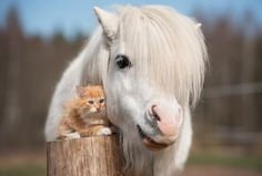 Little cute pony with a bushy white mane and kitty accessory. Pretty Horses, Horse Love, Beautiful Horses, Animals Beautiful, Cute Funny Animals, Cute Baby Animals, Animals And Pets, Fluffy Kittens, Cats And Kittens