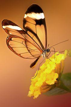 Glasswing Butterfly ~by Lyn Evans
