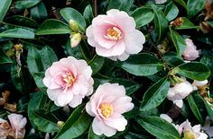 Camellia 'Jean May' -- espaliered to right of center back fence. Most likely this is the name of the Camellia I inherited when we bought the house. 2014 started blooming end of August through Feb. 2015