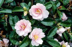 RHS Plant Selector Camellia sasanqua 'Jean May' AGM / RHS Gardening