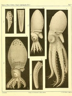 Die Cephalopoden, I. Teil /. Berlin :R. Friedländer & Sohn,1921-1928..