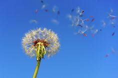 Make a wish - Dandilion in the wind.